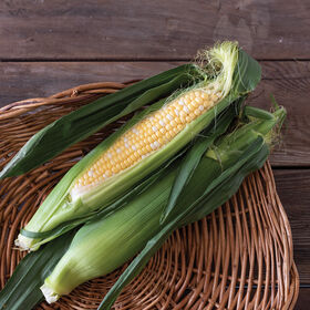 Seminole Sweet XR Sweet Corn