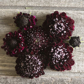 Black Knight Scabiosa (Pincushion Flower)