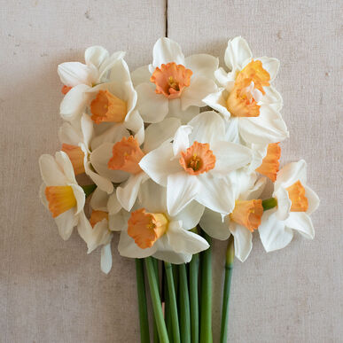 Cool Flame Narcissus