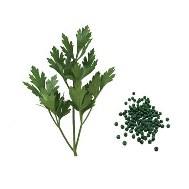 Giant of Italy Leaf Parsley