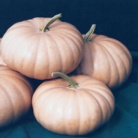 Long Island Cheese Specialty Pumpkins