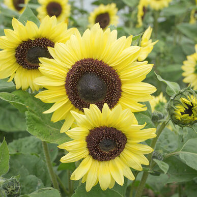 Valentine - Sunflower Seed | Johnny's Selected Seeds