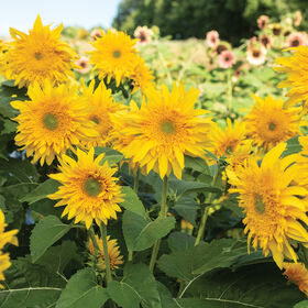 Starburst™ Greenburst DMR Tall Sunflowers