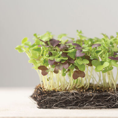 Spicy Micro Mix Microgreen Mixes