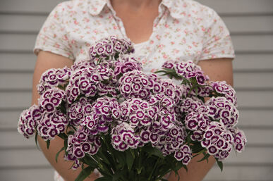 100 Dianthus /'Baby Doll/' Seeds Ideal for hanging baskets and pots.