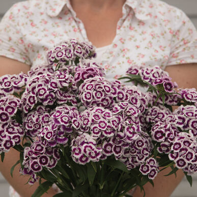 Sweet Purple White Bicolor Dianthus (Sweet William)