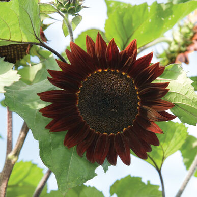 Moulin Rouge Tall Sunflowers