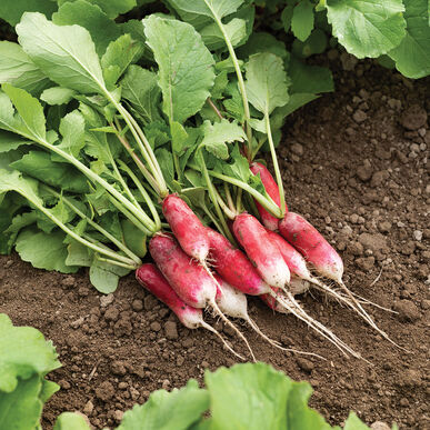 French Breakfast Long French Radishes