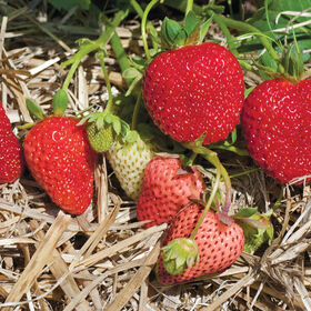Albion Strawberry Bare-Root Plants