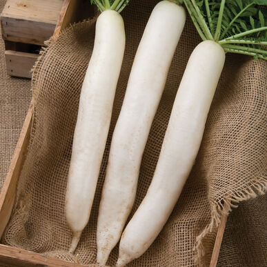 Summer Cross No. 3 Daikon Radishes