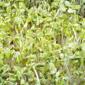 Broccoli Microgreen Vegetables
