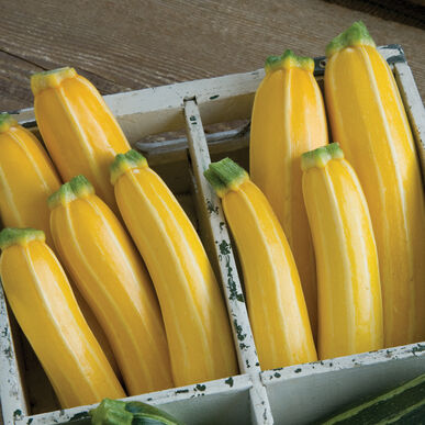 Goldmine Summer Squash