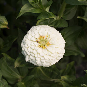 Giant Dahlia Flowered White Giant Dahlia Flowered Series