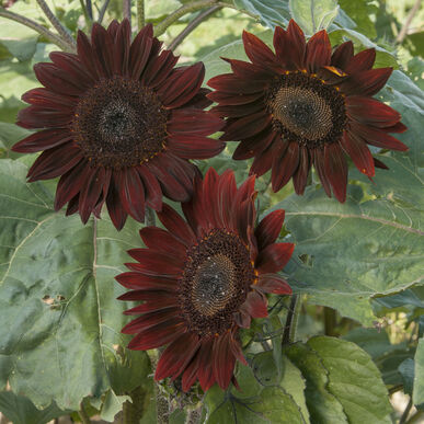 Chocolate Tall Sunflowers