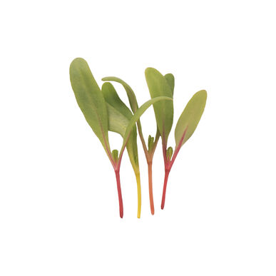 Chard, Bright Lights Microgreen Vegetables