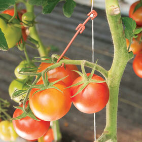 Stemhooks – 13,000 Count Trellising & Crop Supports