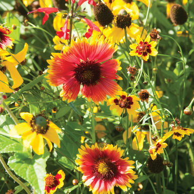 Xeriscape Mix Eastern U.S. Wildflower Mixes