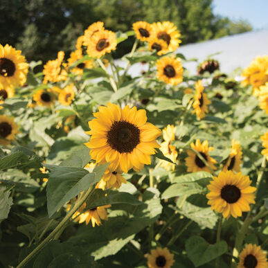 Gold Rush Tall Sunflowers