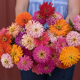 Cactus Flowered Mix Zinnias