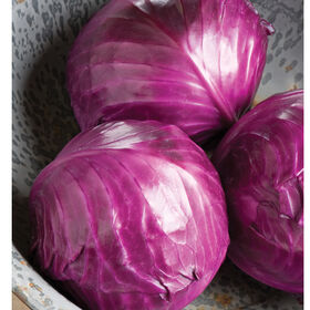 Ruby Perfection Storage Cabbage
