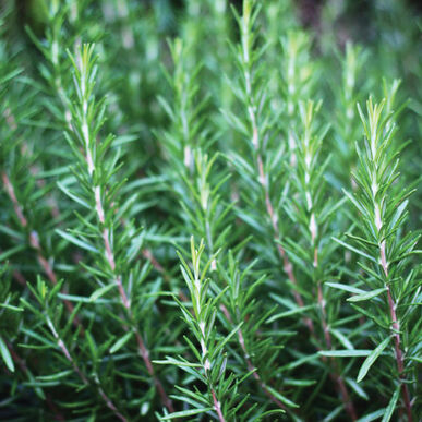 Perfect Skewer Rosemary