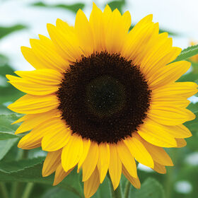 Sunrich Orange Summer Tall Sunflowers