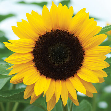 Sunrich Orange Summer Sunflower Seed