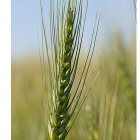 Spring Wheat (Bolles) Wheat