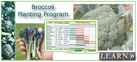 Broccoli Planting Program to Extend Your Harvest