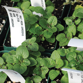 How to Grow Greek Oregano