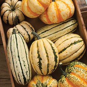 How to Grow Delicata & Sweet Dumpling Winter Squash
