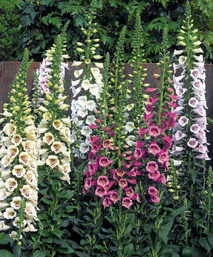 Foxglove, a tall, slender, cottage garden classic, is a biennial that produces its vivid, spotted blooms in its second season.