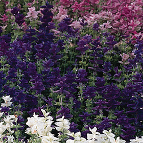 How to Grow Salvia viridis