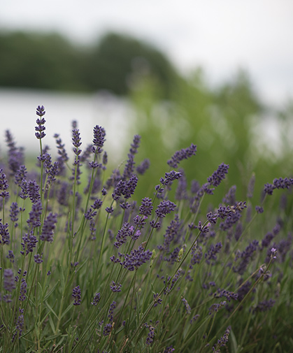 Field of lavender of a winter-hardy type that will produce bushy, well-branched plants and flowers the first year.