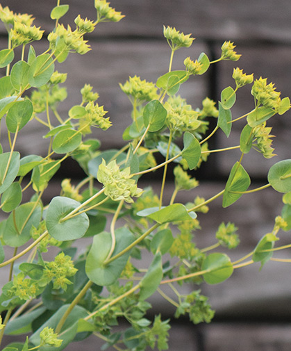 The green and gold blooms of bupleurum blooms showing their colors.
