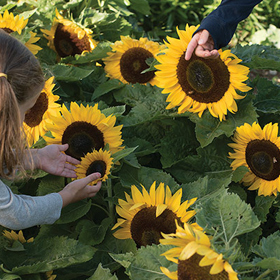 How to Grow Dwarf Sunflowers