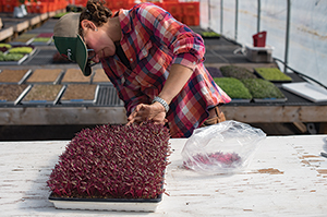 Harvesting Garnet Red Amaranth Microgreens