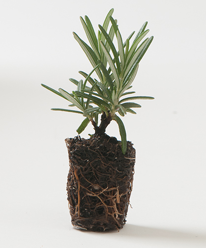 Vegetatively propagated organic rosemary herb plug, showing root structure, ready for production.