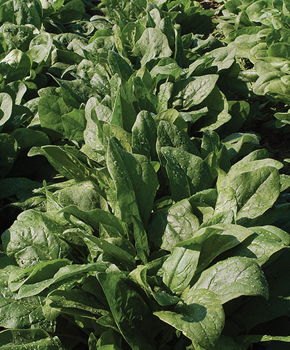 Spinach growing in our trials; each year we evaluate for best performance, flavor, and disease resistances.