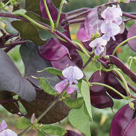 How to Grow Hyacinth Bean