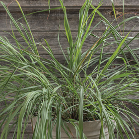 How to Grow East Indian Lemon Grass from Seed
