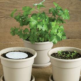 How to Grow Parsley Seed Disks