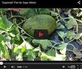 Sapomiel Piel de Sapo Melon