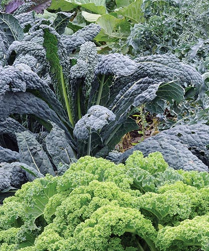 Kale Growing Information How To Plant