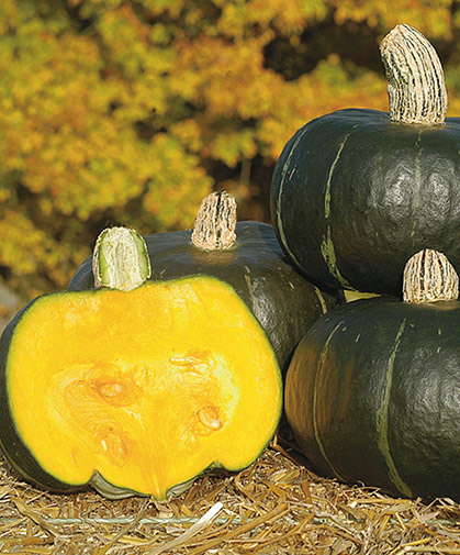 Buttercup winter squash fruits; this variety is the Johnny's-bred 'Bon Bon.'