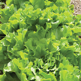 How to Grow Endive & Escarole