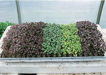 Planning Your Microgreens Production - Achieve a Concurrent Harvest