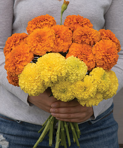 A bouquet of marigolds, workhorse of the cut-flower garden, also known for their allelopathic qualities.