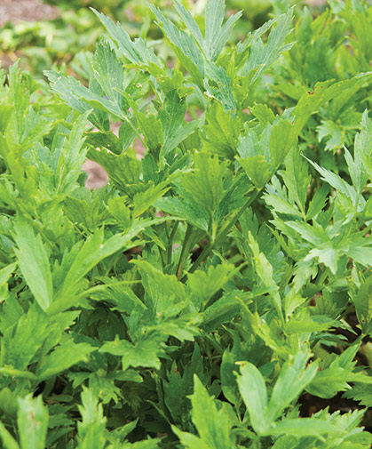 Lovage can be grown as an annual or a perennial, and can become quite large; the leaves impart a celery-like flavor to cuisine.