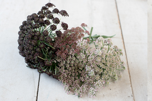 'Dara' produces abundant, attractive, lacy umbels in shades of dark purple, pink, and white.